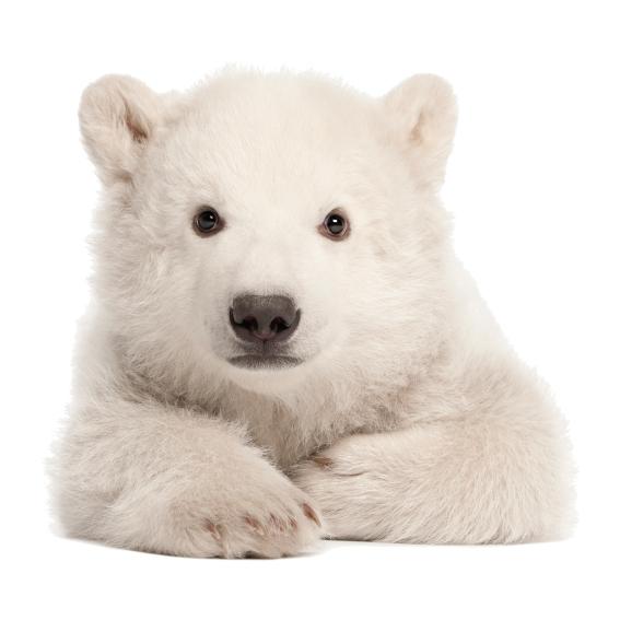 liggend ijsbeertje