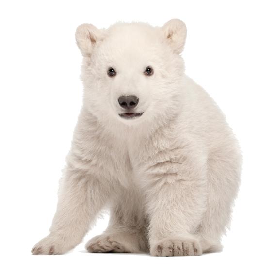 zittend ijsbeertje