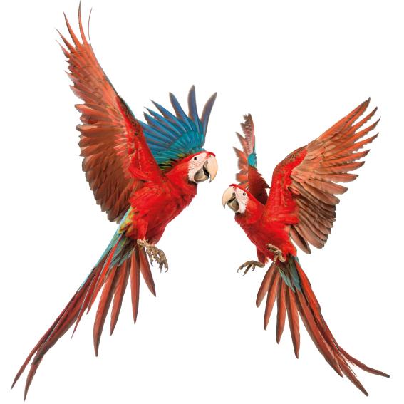 papegaaien duo